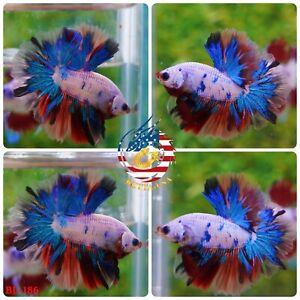 BL-186 Live Betta Fish High Quality Halfmoon HM Male Nemo Tiger Candy Galaxy Koi