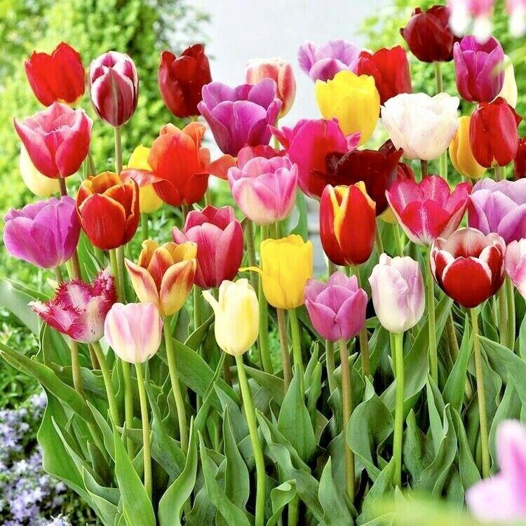 Perennial Garden Tulip Plant BULBS 25 x Mixed Tulips SPRING FLOWERING