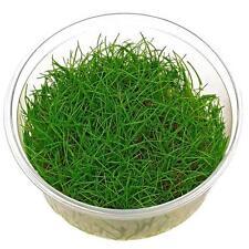 Eleocharis parvula 'japanese' hair grass TC pots - 2