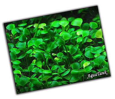 Carpeting Plants - Live Aquatic Aquarium Tropical Fish Tank Plants