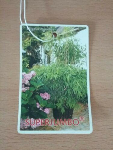 60 cm im  5 li Topf 1 Stück Bambus  Fargesia Super Jumbo ca