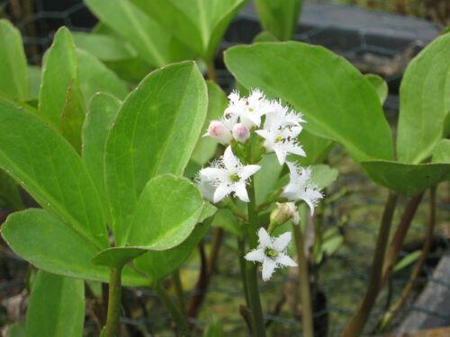 Febbre Trifoglio Menyanthes trifoliata laghetto piante laghetto pianta palude Pianta