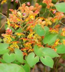 Epimedium-warleyense-Ellen-Willmott-perennial-plant-ideal-ground-cover-9cm-pot