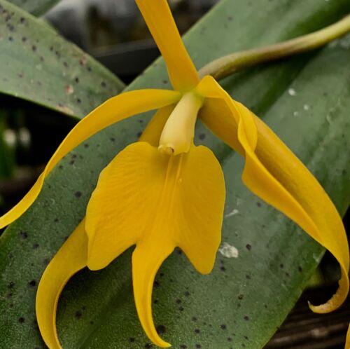 Epidendrum Hybride ´Golden Sun Star´ NEW Duft Orchidee Orchideen Cattleya