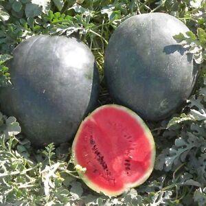 25+ Premium Bush Sugar Baby Watermelon Seeds, Organically ...