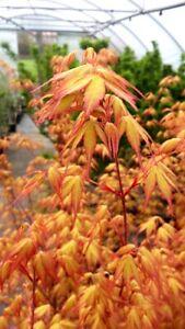 Acer-palmatum-Katsura-japanischer-orangener-Faecherahorn-70-80cm-Japanahorn