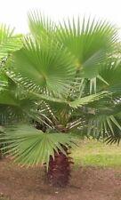 Washingtonia robusta, Petticoat-Palme, 20 semillas