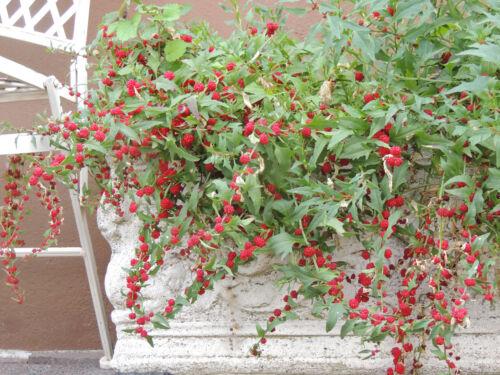 exotische Gemüsesorte * 200 Korn * Echter Erdbeerspinat Rarität frisch