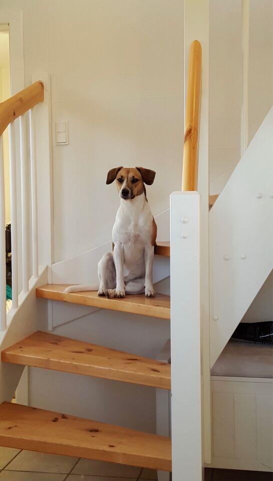 Dansk svensk gårdhund, hvalpe, 2 uger