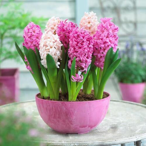 300Pcs  Hyazinthe Samen einfach zu Mixed Color Blumensamen wachsen-Garden