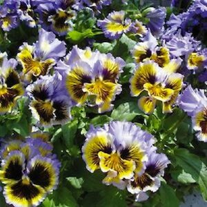 New 30 frizzle sizzle yellow blue swirl ruffled pansy flower seeds image is loading new 30 frizzle sizzle yellow blue swirl ruffled mightylinksfo