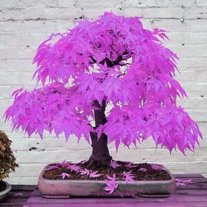 30pcs Schöne Lila Maple Ghost Pflanze Baum Samen Garten Bonsai