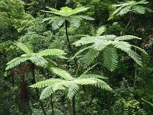 Lacy-Tree-Fern-Cyathea-Cooperi-25-Fresh-Spore-seeds-Hardy-Fast-Growing