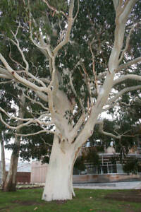 10 x Mountain Gum graines. Eucalyptus dalrympleana  </span>