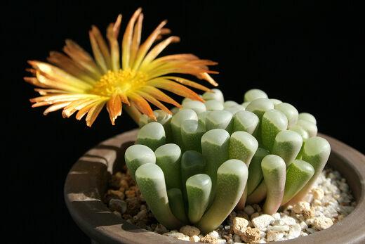 Fenestraria Rhopalophylla Aurantiaca Fireworth (10 SEEDS) Rare Succulent Cactus