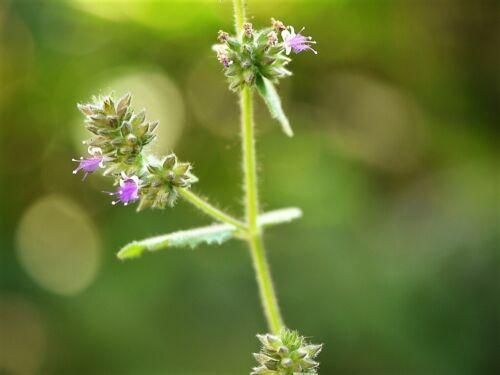 10 Java INDIAN PATCHOULI Pogostemon Heyneanus Herb Shrub Flower Fragrant Seeds