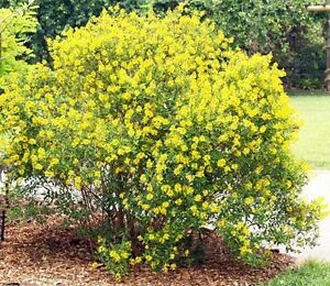 20 seeds galphimia gold shower thryallis glauca yellow flower shrub image is loading 20 seeds galphimia gold shower thryallis glauca yellow mightylinksfo