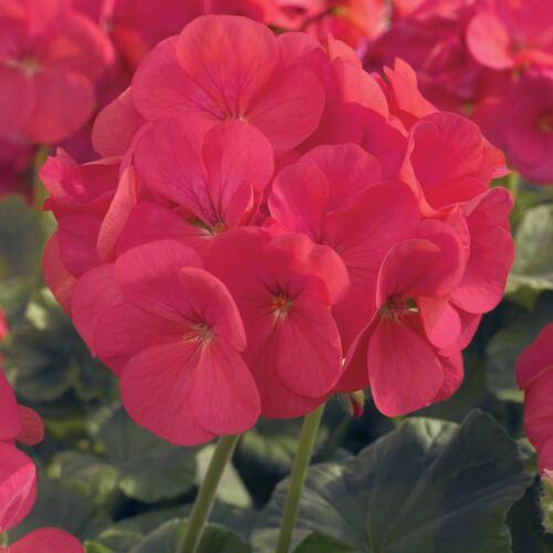 ANNUAL 100 SEEDS APPLEBLOSSOM MAVERICK F1 GERANIUM FLOWER GARDEN SEEDS