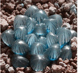 Haworthia obtusa /'Crystal/' Light Blue Transparent Succulent Bonsai 5pcs