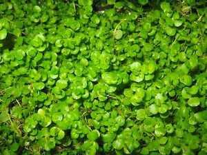 SONDERANGEBOT-Micranthemum-Rundblaettriges-Perlenkraut