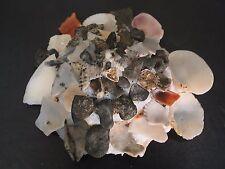 Hard2Get...XENOPHORA CORRUGATA TULEARENSIS w/o~92.3mm!!~Madagascar SEASHELL