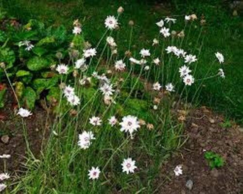 25 Graines Catananche Caerulea Cupid/'s Dart - - blanc