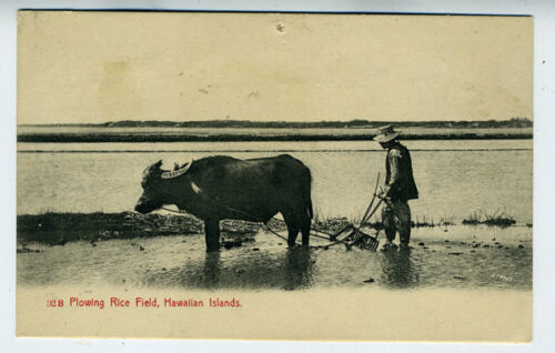1905 Private Mailing Hawaii Postcard showing a Man Plowing the Rice Field