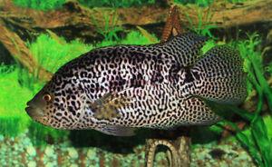 10 (dix) X Parachromis Managuensis (Jaguar Cichlid)