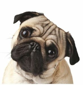 Image Is Loading New Pug Toy Dog Greeting Cards Pugs Dogs