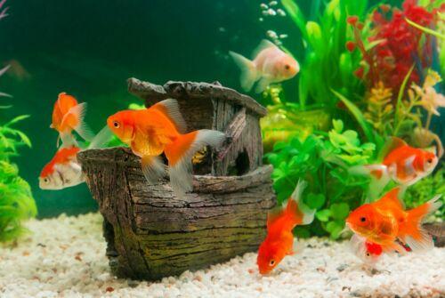 A1Fun Goldfish Poster Art Print 60 x 90cm 180gsm Fish Tank Oranda Gift #8427