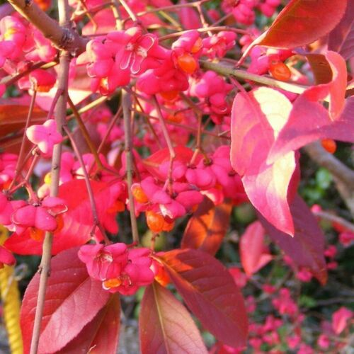 Euonymus europaeus /'Red Cascade/' Fusain d/'Europe rouge