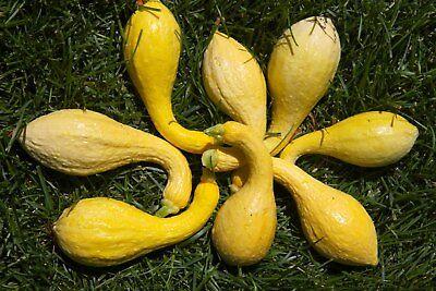 Scallop Pattypan squash GAGAT seeds 10 pcs by Ruslan Doohov Dookhov bush pumpkin