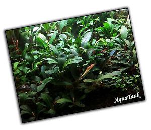 Bucephalandra Arten-Live Aquatic Aquarium Terrarium Pflanzen super selten