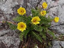 20 Geum reptans Seeds,Creeping Avens Plant Seeds