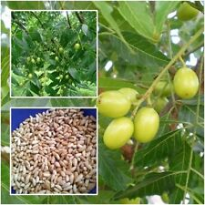 Azadirachta indica 20 seeds Siamese neem tree for planting+Delivery