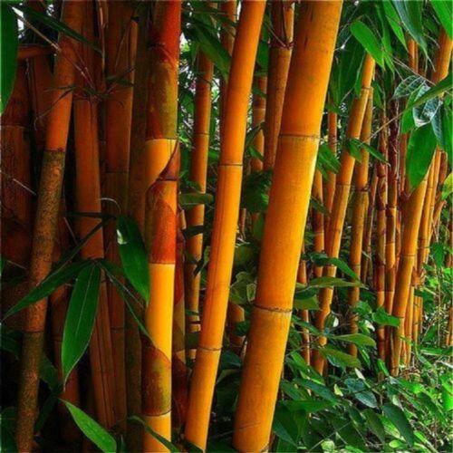 50 Rare Orange Bamboo Seeds Privacy Plant Garden Clumping Exotic Shade Screen