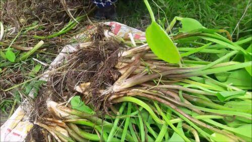 "BIG SALE pak pai NEW!50 Seeds very BIG /""Limnocharis flava Buch"