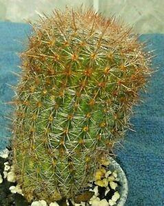 notocactus-schlosseri-2-5-wide-x-3-5-in-tall