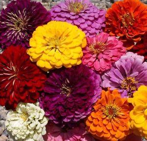 Details About Zinnia Dahlia Flowered Mix 250 Seeds Cut Flower Beautiful Combsh K22