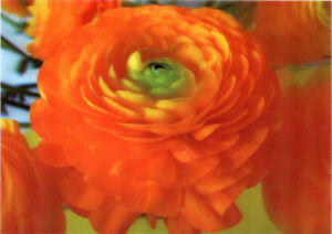 Buttercup (Flower) - 3D Lenticular Postcard Greeting Card