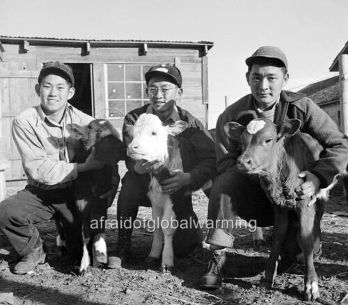 calves Photo WW2 Japanese Evacuees  HS Agriculture Students Amache Colorado