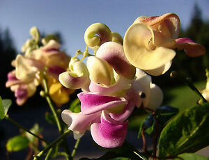 Corkscrew vine or snail vine vigna caracalla sweet fragrance 8 image is loading corkscrew vine or snail vine vigna caracalla sweet publicscrutiny Gallery