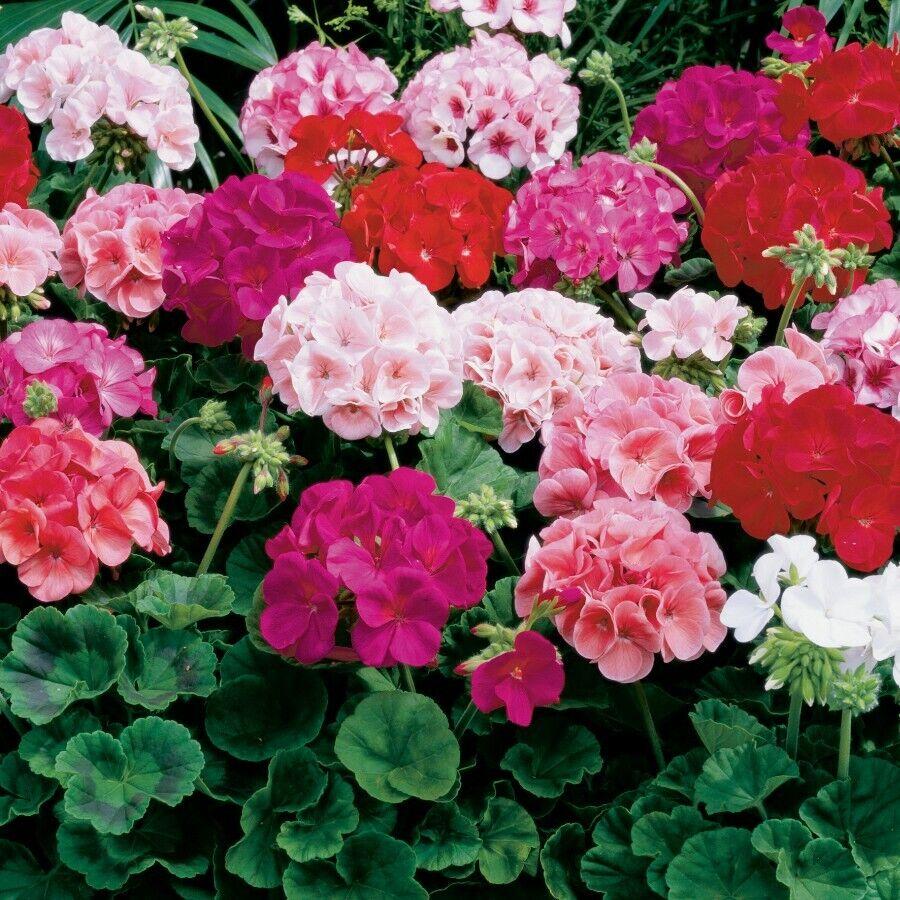 Flower bedding plant - Geranium - Horizon F1 - Mixed- 10 Seeds