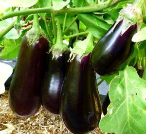 VEGETABLE-Aubergine-Halflange-violette-300-seeds-Eggplant-Semi-tall
