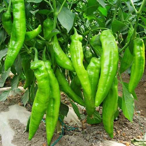 Hot Pepper Seeds 30 Seeds Claw Shape Capsicum Frutescens Paprike Vegetables C077
