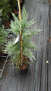 Sequoiadendron-giganteum-glaucum-blauer-Mammutbaum-80cm-Bergmammutbaum