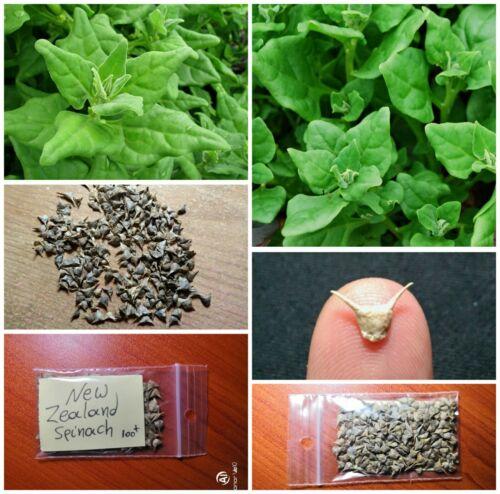 New Zealand Spinach /'/'Tetragonia tetragonoides/'/' ~100 Top Quality Seeds RARE