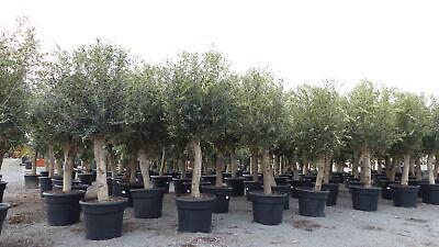 Olivenbaum 230-260 cm buschige Krone, unzählige Fruchtstände, winterharte Olive