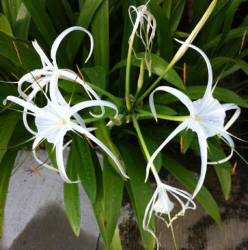 6x SPIDER LILY Hymenocallis littoralis scented white flowers plants in 75mm pots