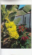 BF29296 islas canarias planta de platanos y flor de pascu spain front/back image